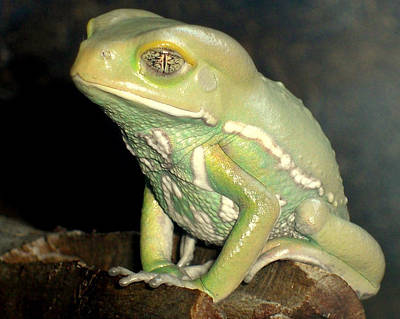 Rainforest Frog Poster by Heidi Manly