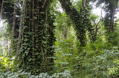 Rainforest, Jamaica Poster by Mark Newman