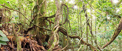 Rainforest Lianas Poster by Dr Morley Read