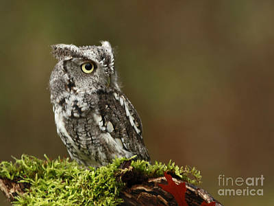 Rainy Day Eastern Screech Owl Poster