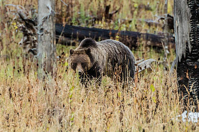 Poster featuring the photograph Rainy Day Grizzly Sow by Yeates Photography