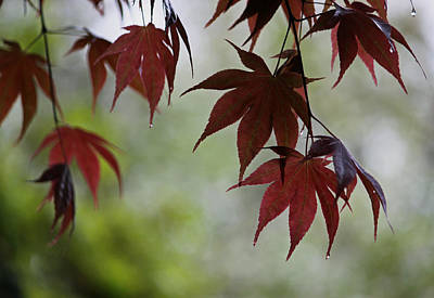 Rainy Day Series - Japanese Red Maple II Poster by Suzanne Gaff