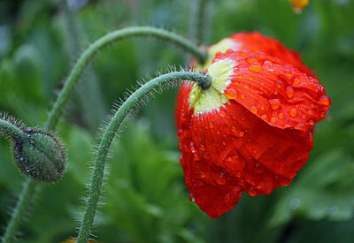 Rainy Day Series - Two Red Poppies Poster by Suzanne Gaff