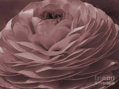 Poster featuring the photograph Ranunculus Red by Jean OKeeffe Macro Abundance Art