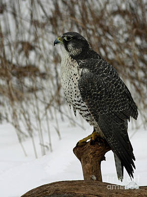 rare Discovery Gyrfalcon in the Winter Snow Poster by Inspired Nature Photography Fine Art Photography