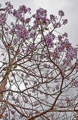 Rare Foxglove Tree - Paulownia Tomentosa  Poster