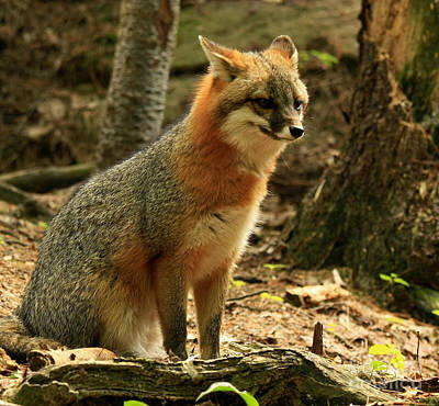 Rare Grey Fox On Alert In The Forest Poster