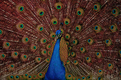 Poster featuring the photograph Rare Pink Tail Peacock by Eti Reid