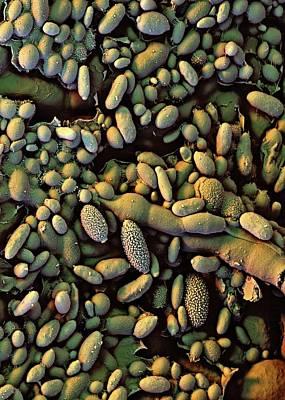 Raspberry Leaf Biofilm Poster by Stefan Diller