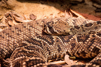 Rattlesnake Up Close And Personal Poster by Douglas Barnett