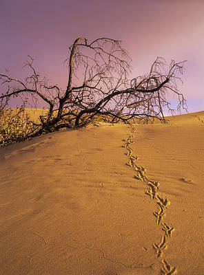 Raven Tracks Across The Sand Dune Poster by Robert L. Potts