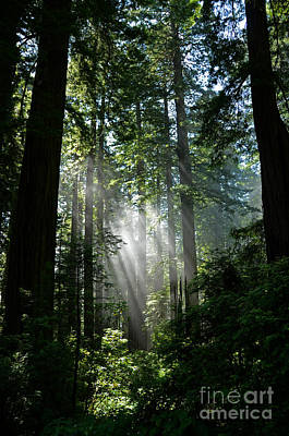 Rays In Redwoods Poster