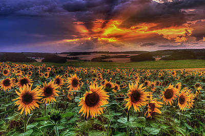Rays Of Sunflowers Poster by Steffen Gierok