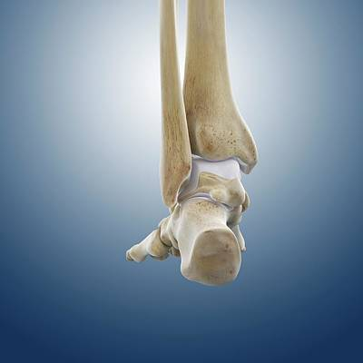 Rear Foot And Ankle Bones Poster by Springer Medizin
