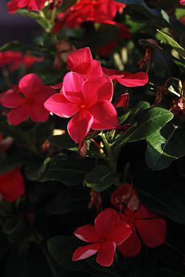 Reba's Garden - A Lovely Shade Of Red Poster