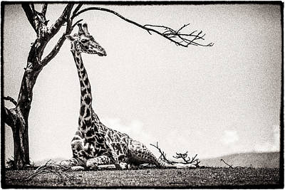 Poster featuring the photograph Reclining Giraffe Sepia by Mike Gaudaur