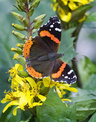 Red Admiral Poster by Barbara Smith