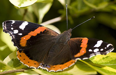 Red Admiral Butterfly Poster by Richard Thomas