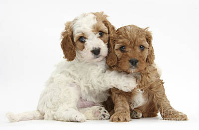 Red And Red-and-white Cavapoo Puppies Poster