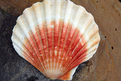 Red And White Seashell Poster by Aidan Moran