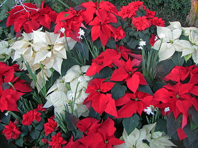 Red And White Poinsettias Poster