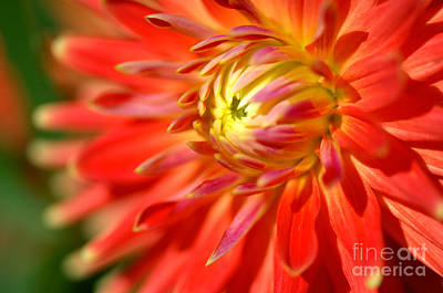 Red And Yellow Dahlia Flower Close Up Poster