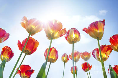 Red And Yellow Tulips Poster by Mythja  Photography