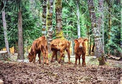Red Angus Calves Poster by Larry Campbell