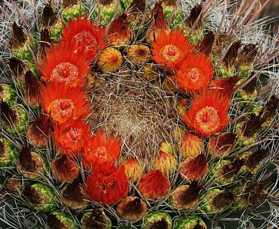 Red Barell Cactus Flowers Poster by Tom Janca