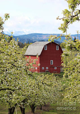 Poster featuring the photograph Red Barn And Apple Blossoms by Patricia Babbitt