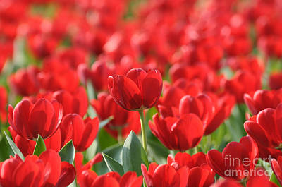 Red Beautiful Tulips Poster by Boon Mee