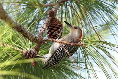 Red-bellied Woodpecker Poster by Jennifer Zelik