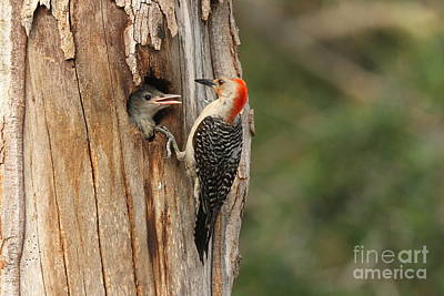 Red-bellied Woodpecker With Chick Poster