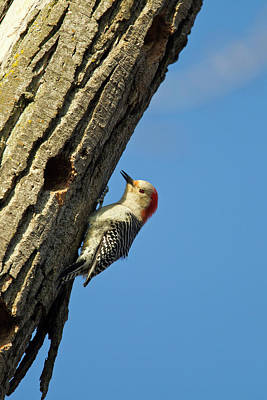 Red-bellied Woopecker In Tree Poster by Chuck Haney