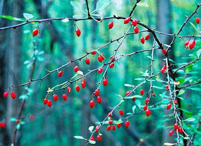 Red Berries In October Poster by Cara Moulds