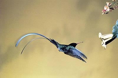 Red-billed Streamertail Hummingbird Poster by Bernard G. E. St. Aubyn
