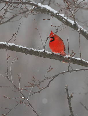 Red Bird Poster