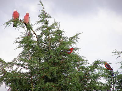 Red-breasted Cockatoos And Crimson Rosellas Poster by Bev Conover