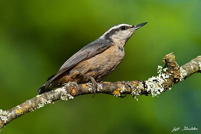 Red Breasted Nuthatch In A Tree Poster