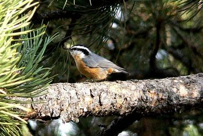 Red-breasted Nuthatch In Pine Tree Poster by Marilyn Burton