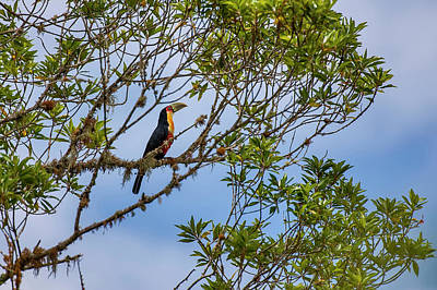 Red-breasted Toucan Ramphastos Dicolorus Poster