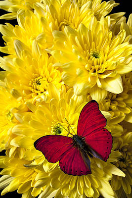 Red Butterfly On Poms Poster by Garry Gay