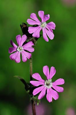 Red Campion Flowers Poster by Colin Varndell