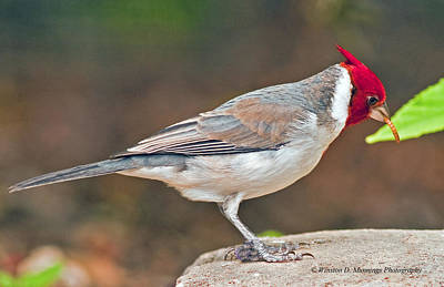 Red-capped Cardinal Poster