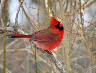 Red Cardinal In Winter Poster by Dianne Cowen