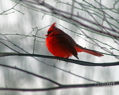 Red Cardinal On Winter Branch  Poster