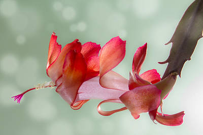 Red Christmas Cactus Bloom Poster