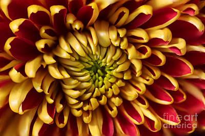 Red Chrysanthemum Poster by Matt Malloy