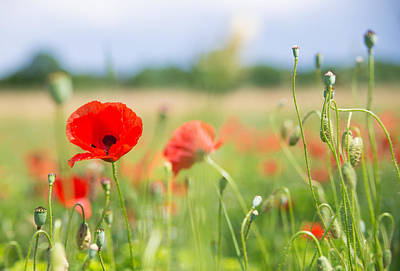 Red Corn Poppy On A Beautiful Green Summer Meadow Poster