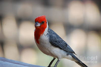 Red Crested Cardinal Poster by DejaVu Designs